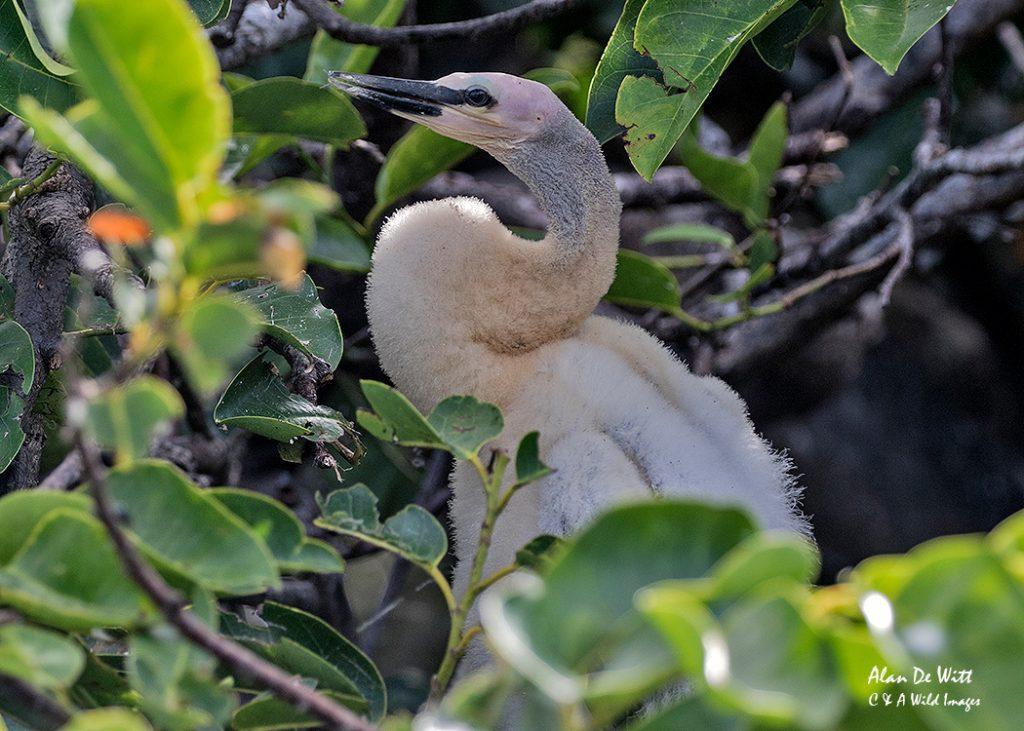Anhinga chick
