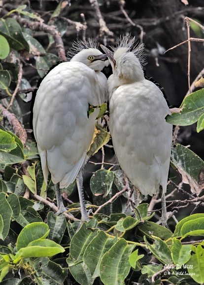 Juvenile Cattle Egrets at Wakodahatchee Wetlands