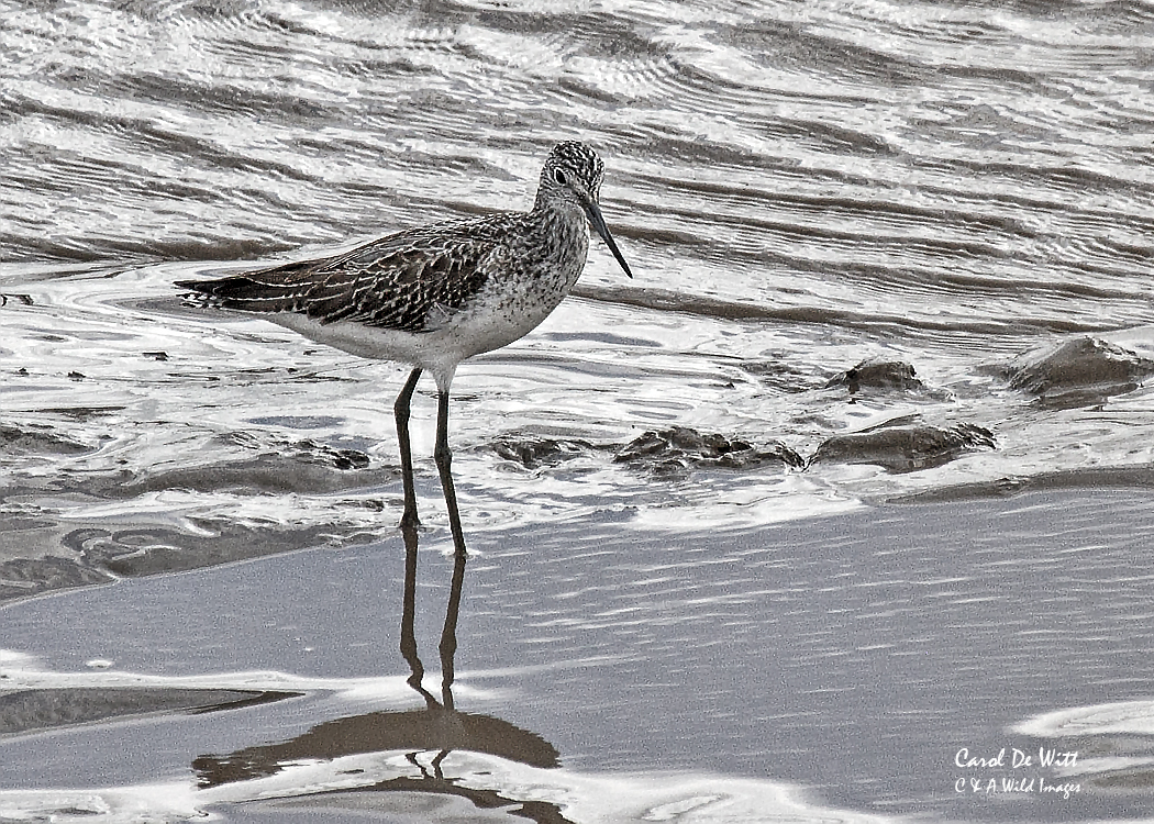 Greenshank on the  river Parrett