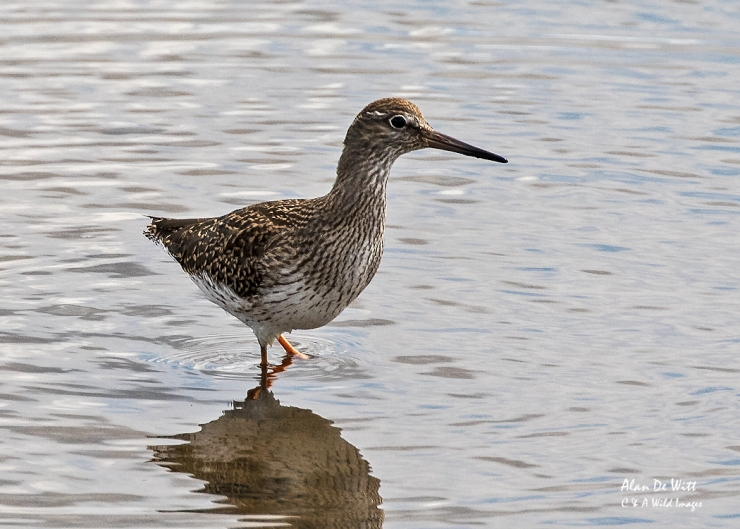 Juvenile RedshanK at RSPB Titchwell