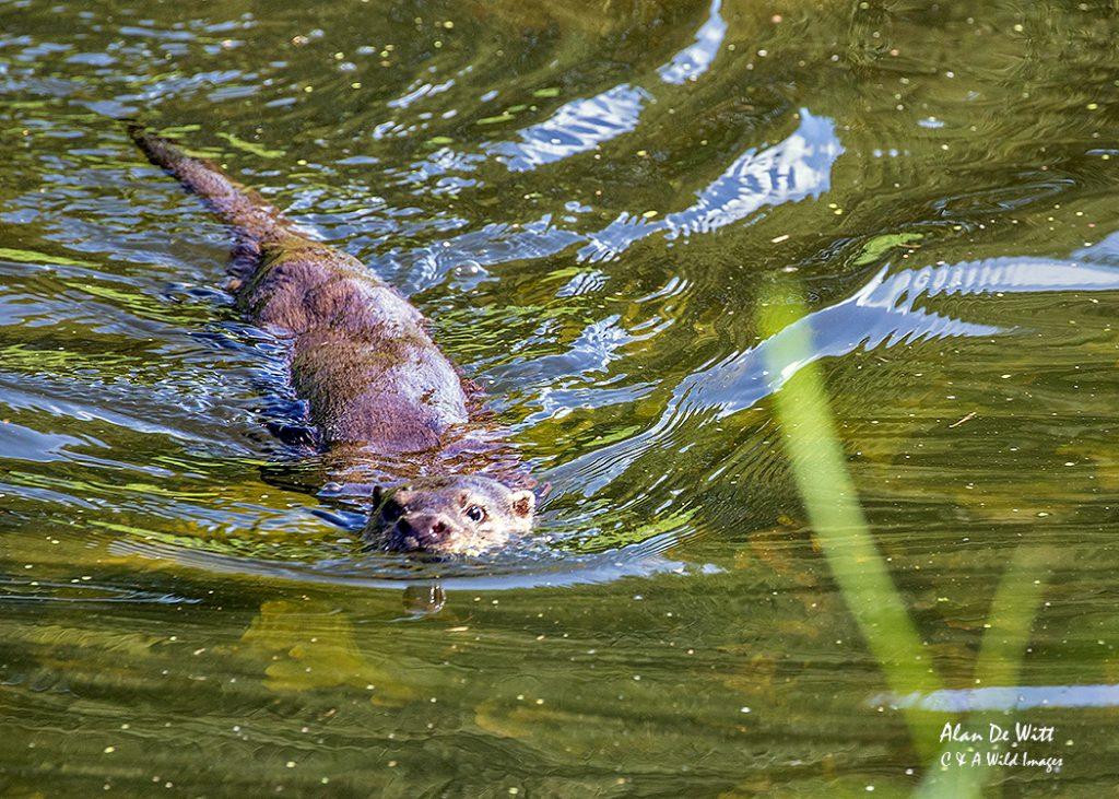 Otter at Shapwick Heath