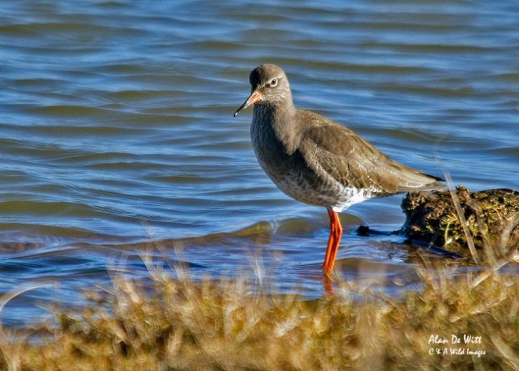 Redshank at RSPB Frampton