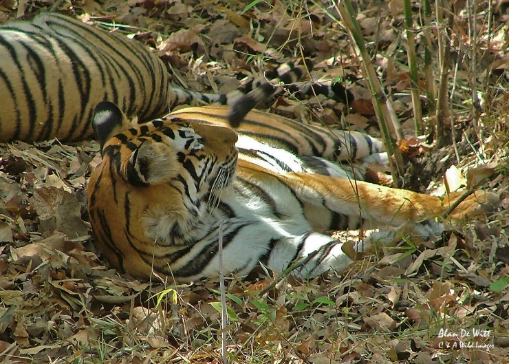 Resting Tiger in Kanha National Park