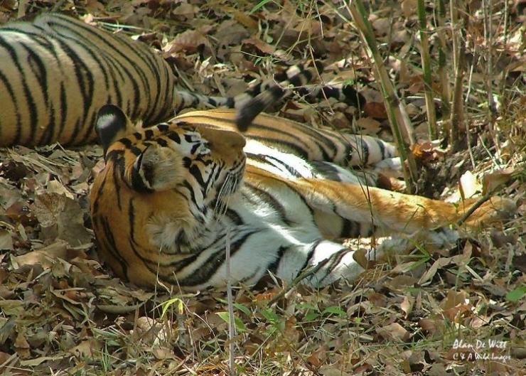 Resting Tiger in Bandhavgarh