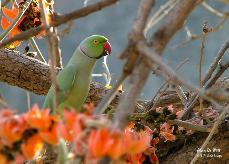 Ring necked parrot india