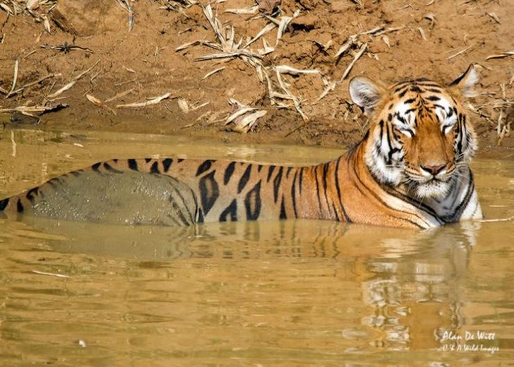 """Maya"" the Tigress in a pool, Tadoba NP"