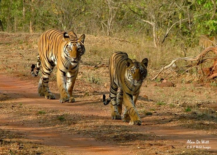 Tiger and cub in Bandhavgarh