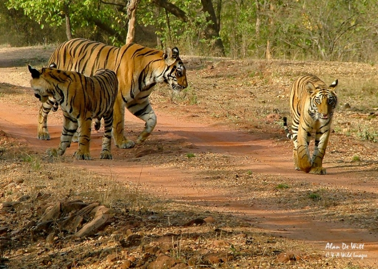 Tiger and two cubs in Bandhavgarh
