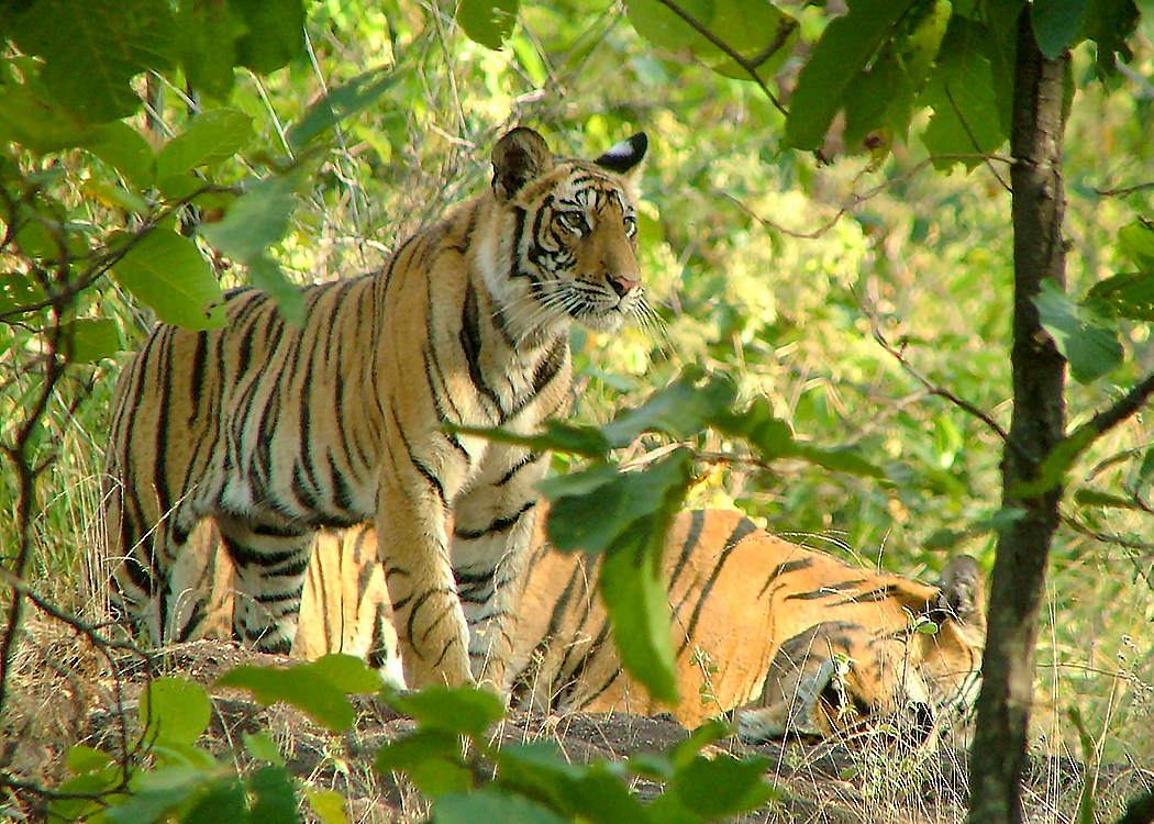 Tiger in Bandhavgarh Reserve