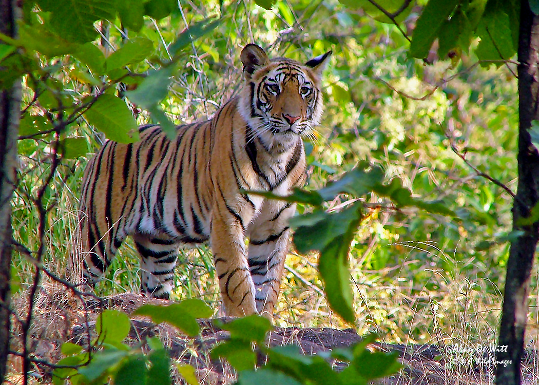 Tiger cub in Bandhavgarh National Park