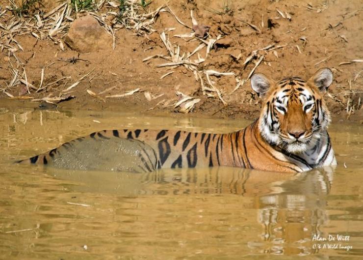 Tigress named Maya in the water
