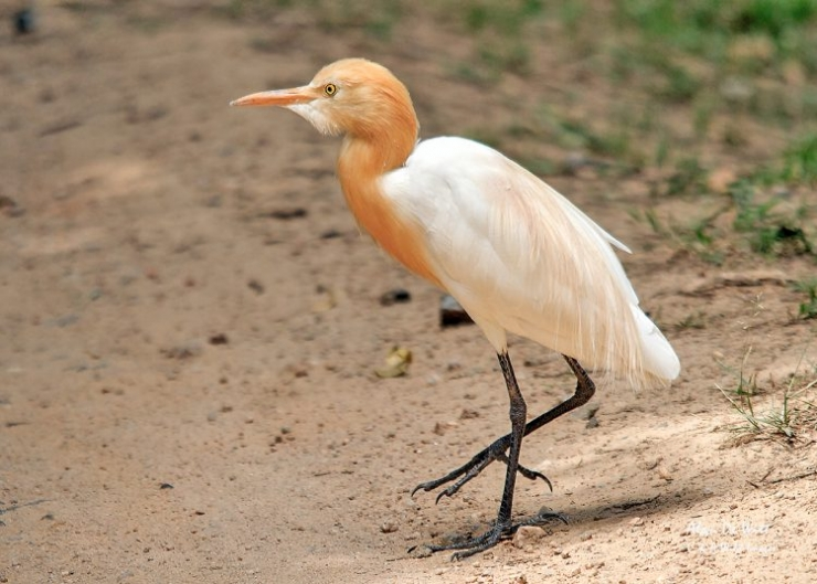 Cattle Egret India