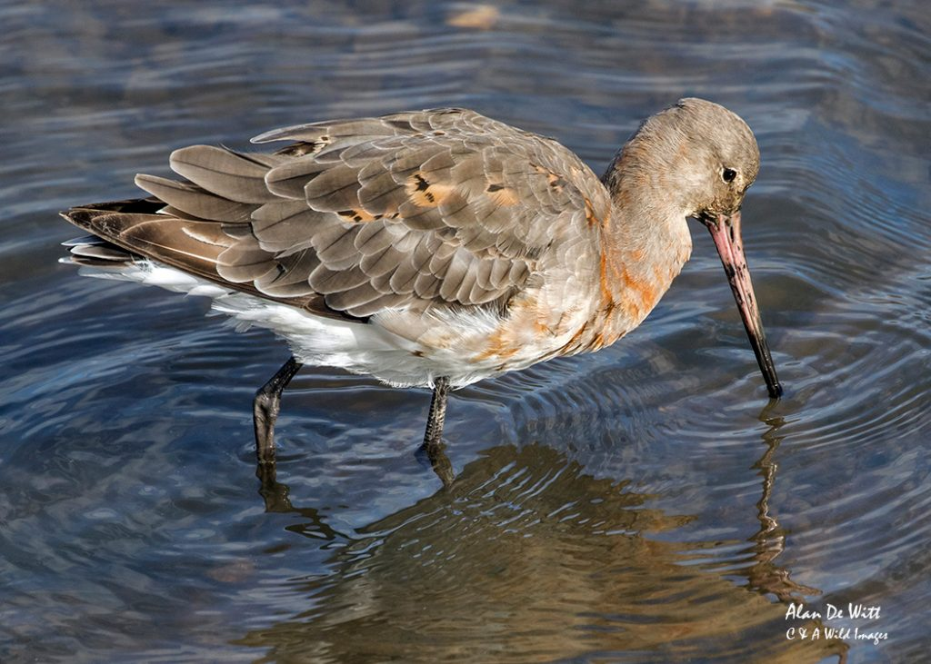 Black tailed Godwit moulting into its winter plumage