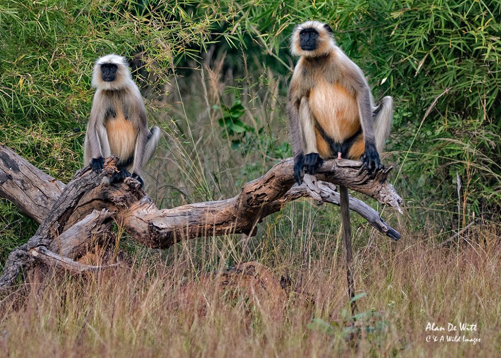 Male & Female Common Langur,