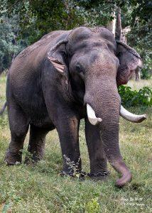 One of the working Elephants