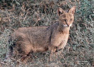 Indian Jungle Cat captured on the banks of the River Chambel