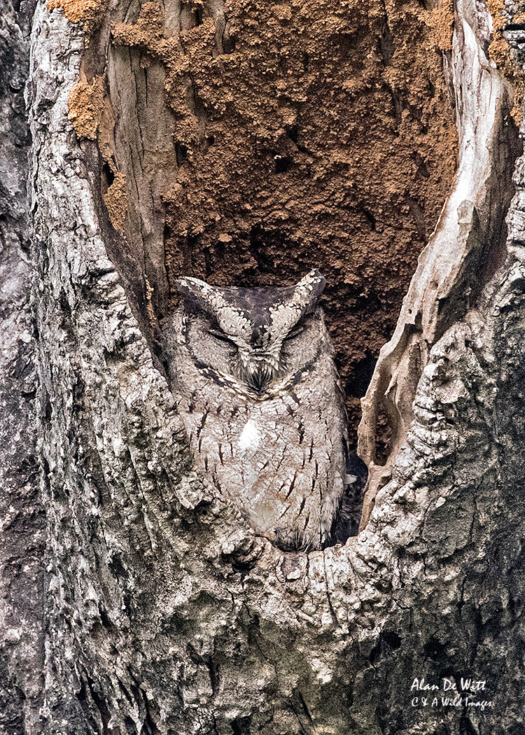 Scops Owl in Bandhavgarh Tiger Reserve