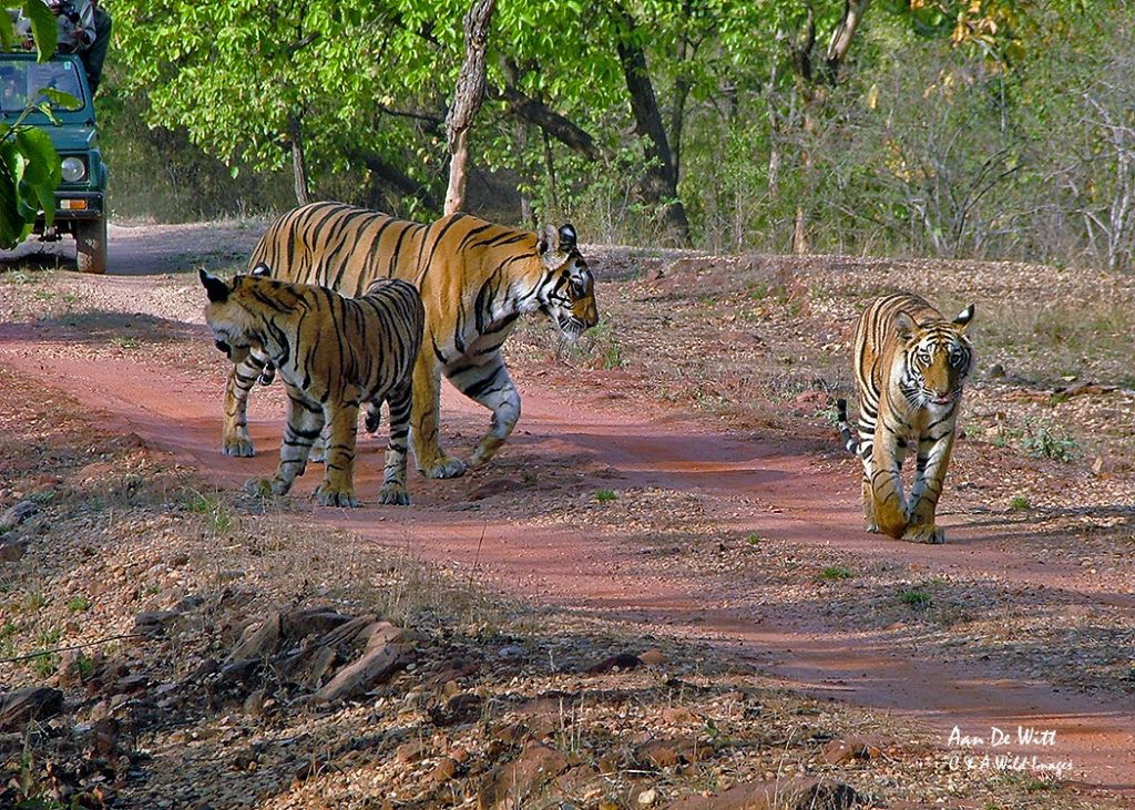 Tigers in Bandhavgarh April 2006