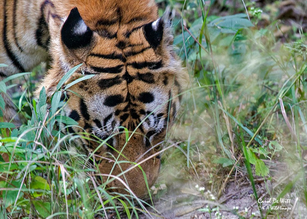 Checking the ground for the scent of other tigers