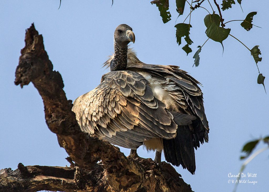 The Indian vulture