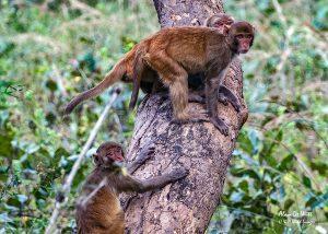Group of Rhesus monkeys