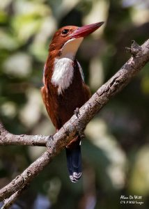 White throated kingfisher Bandhavgarh National Park