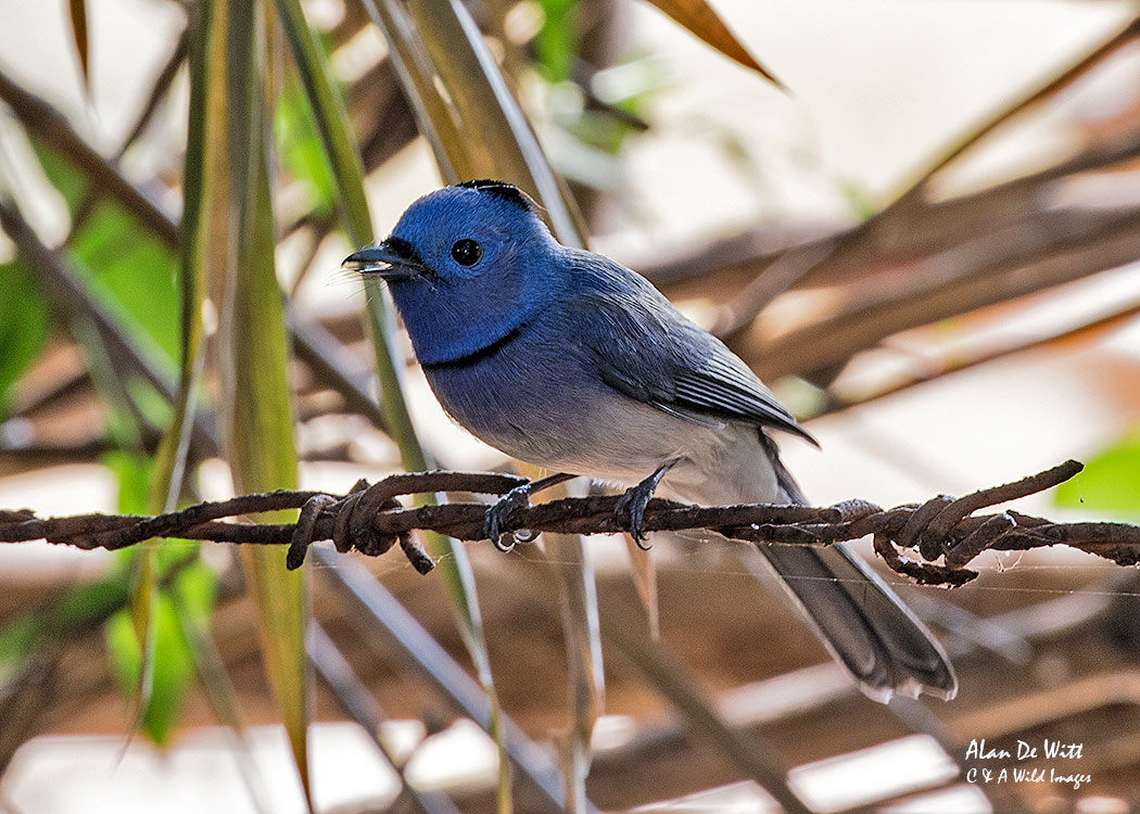 Black Naped Monarch at Bandhavgarh Jungle Lodge