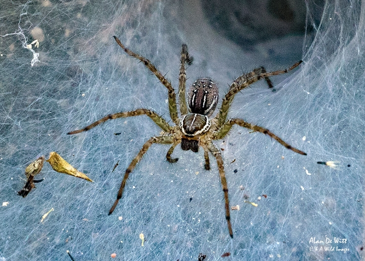 Funnel Weaver Spider in Bandhavgarh Tiger Reserve