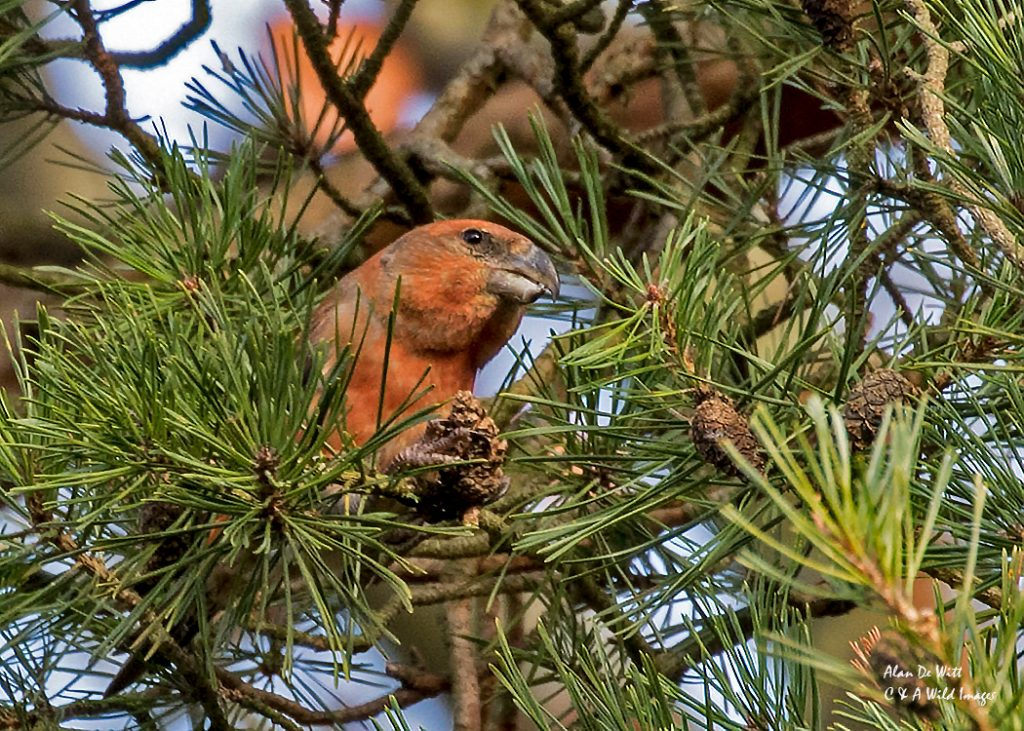 Male parrot crossbill showing off his dusky red to orange colouring