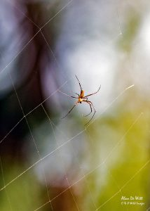 Male Wood Spider