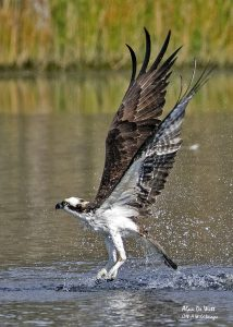 Osprey fishing in River Bend Park Jupiter Fl