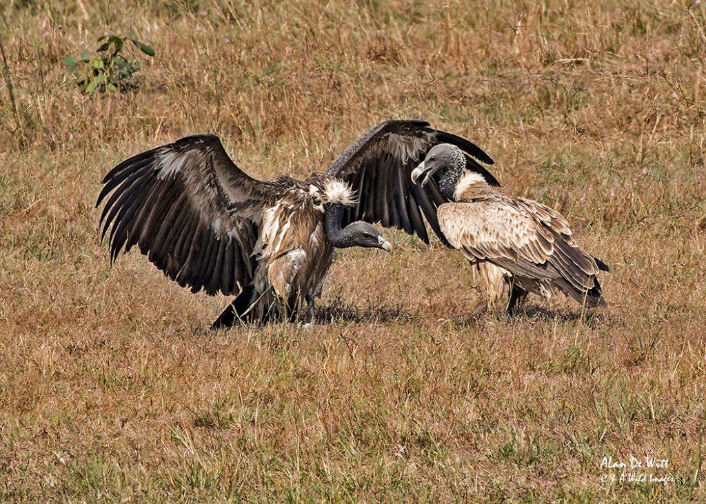 Indian Vultures squabbling