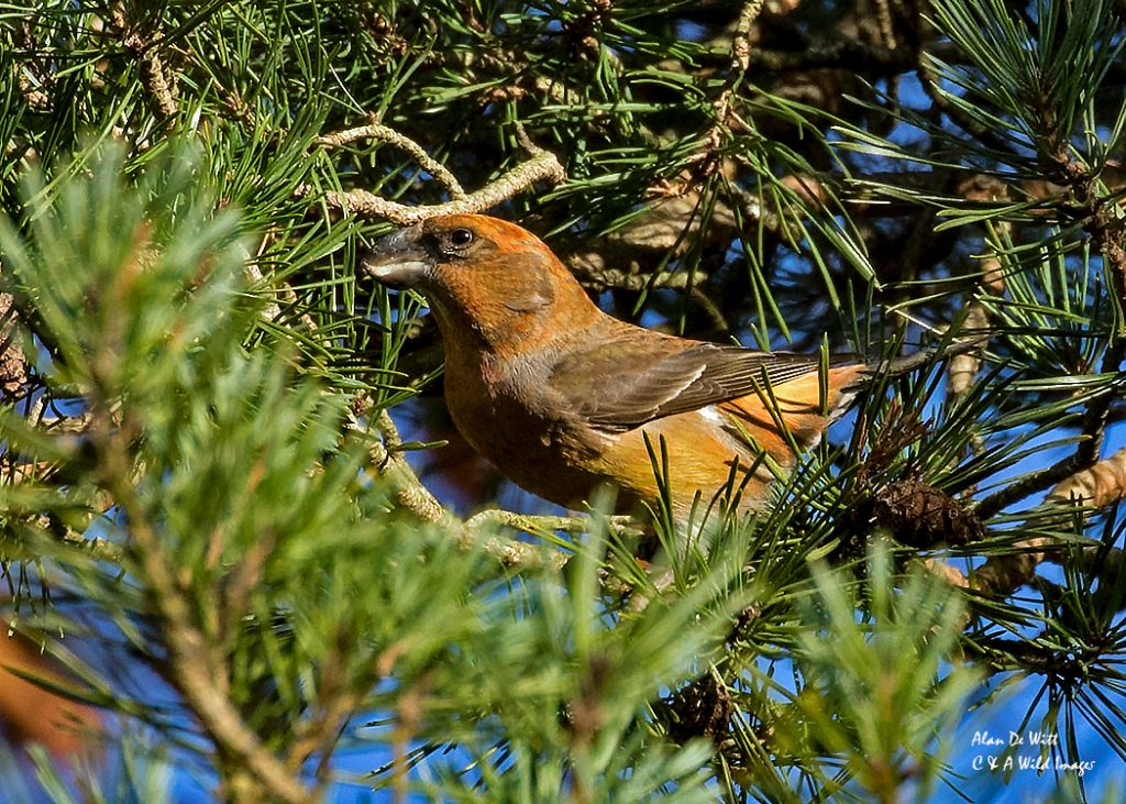 Male Parrot Crossbill captured in the early morning sunlight