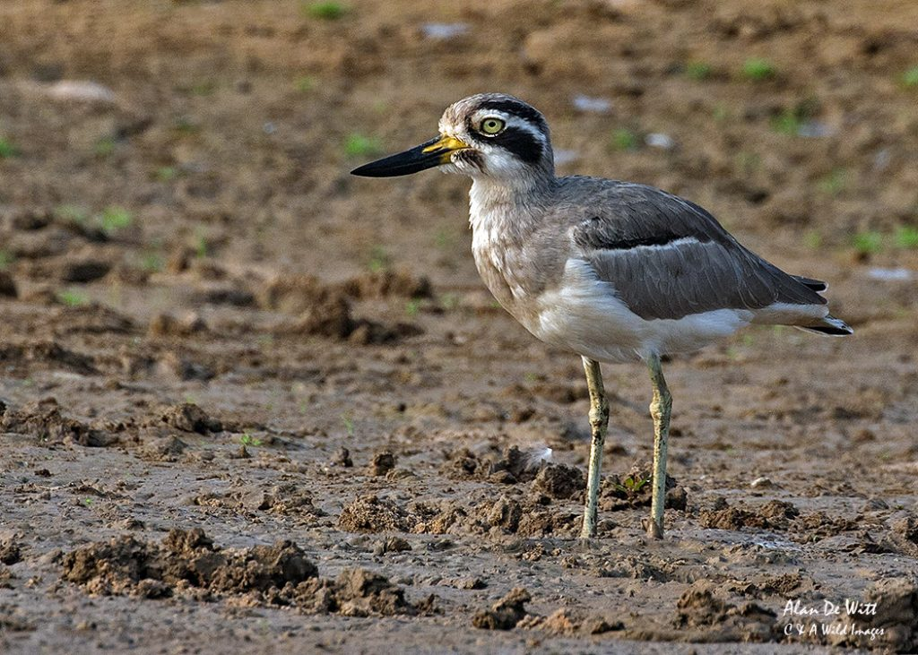 Beach Thick Knee