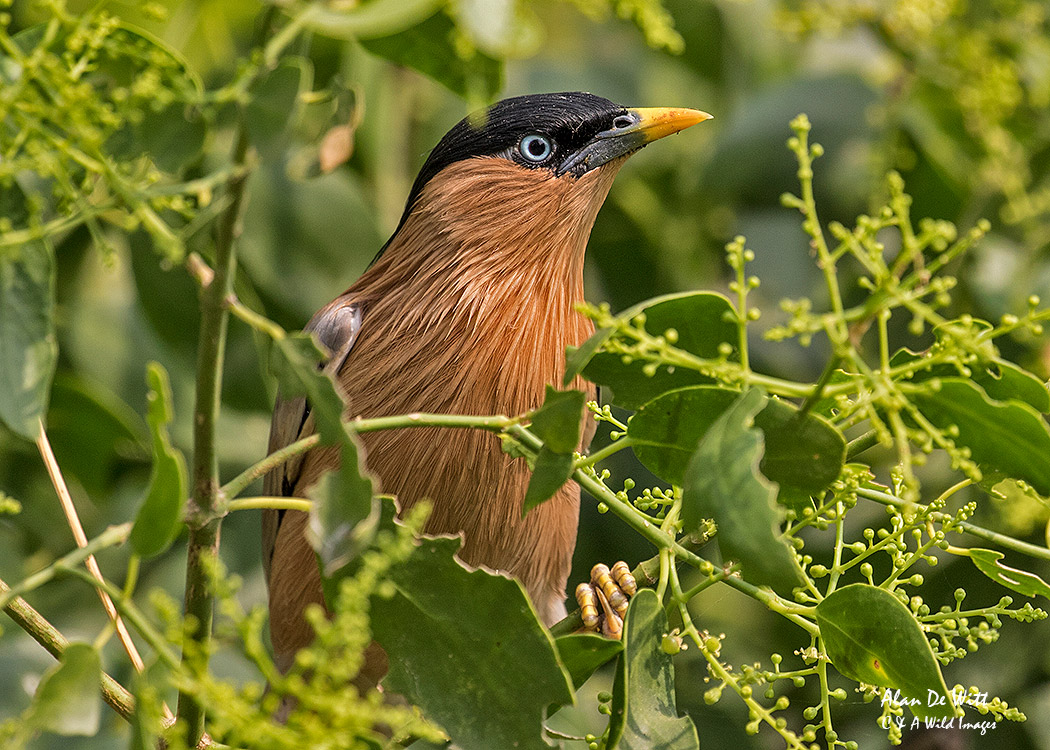 Brahminy Starling at The Mela Kothi - Chambal Safari Lodge