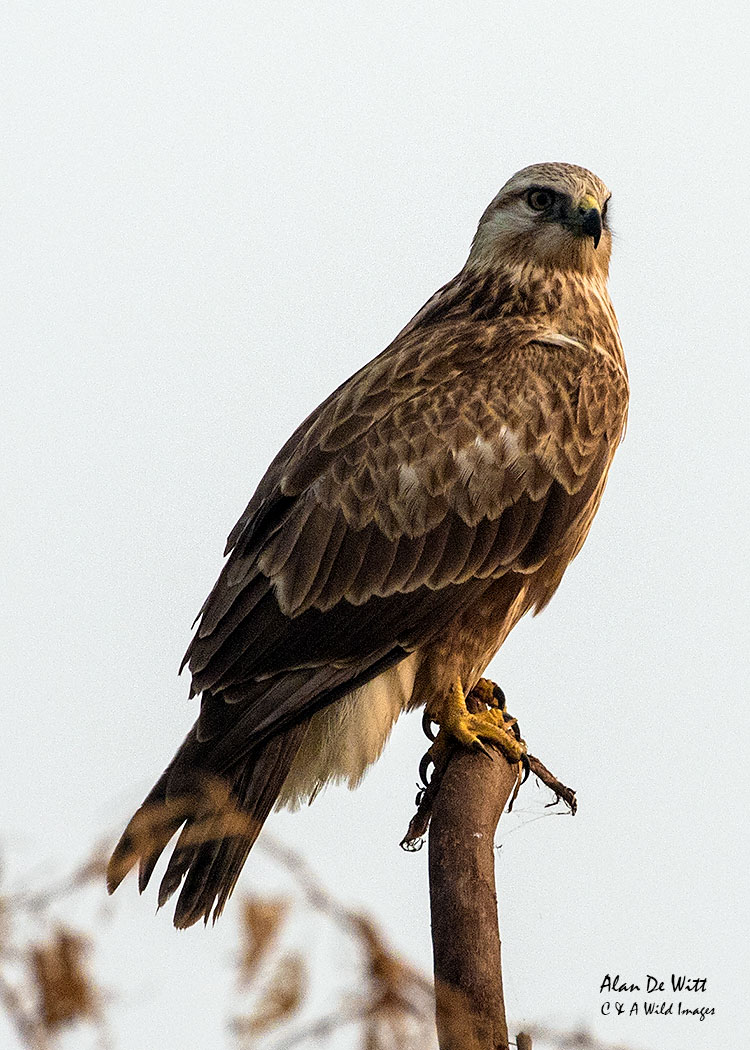 Long-legged Buzzard along the River Chambal
