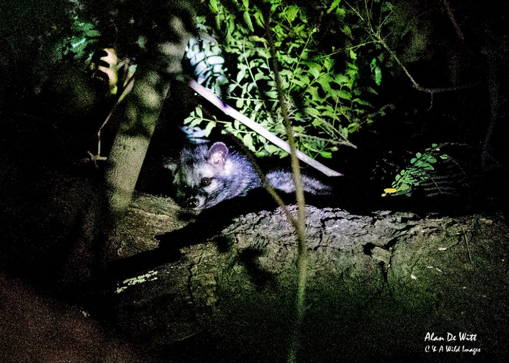 Palm civet famous for producing Kopi luwak, or civet coffee, from defecated part-digested coffee cherries.