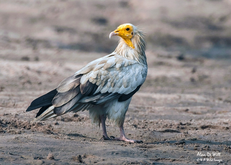 Egyptian Vulture on sand bank in the River Chambal