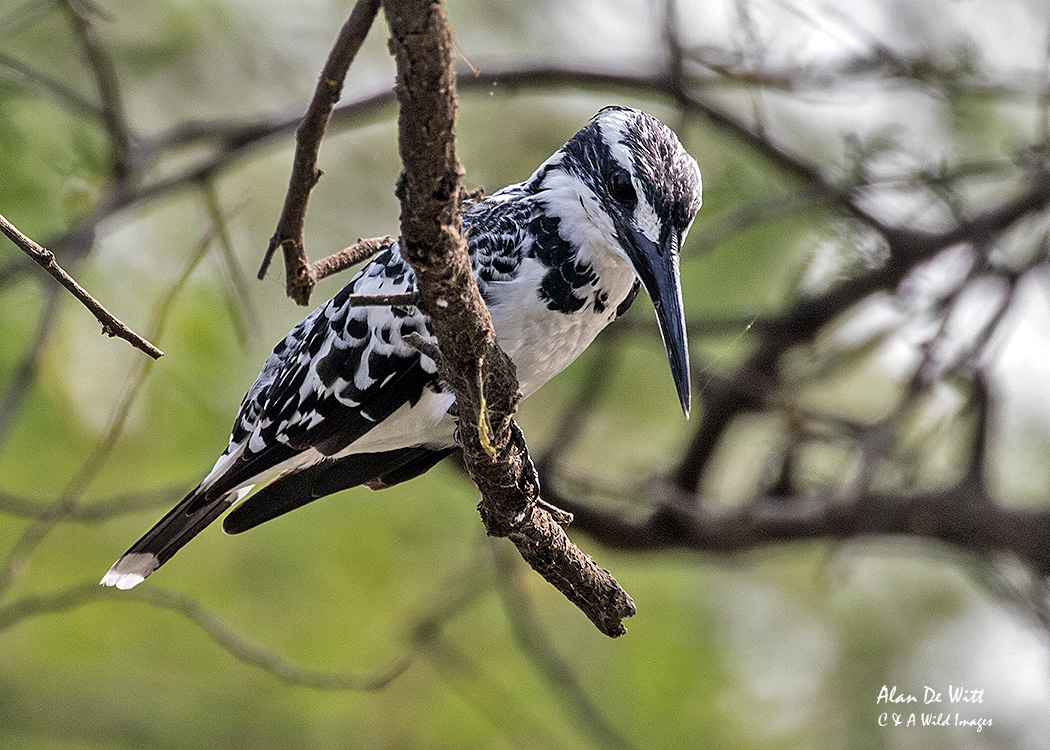 Female Pied Kingfisher at Bharatpur