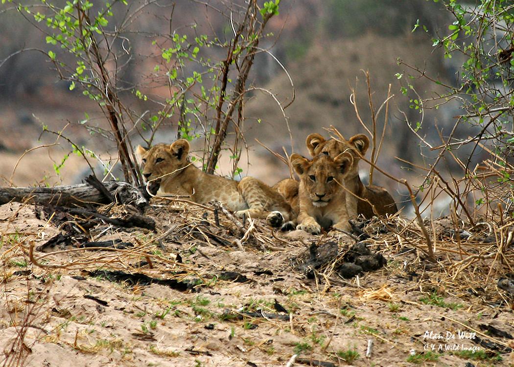 Three Lion cubs in RuahaNational Park Tanzania