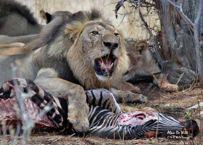 Lion defending a Zebra carcass in RuahaNational Park Tanzania