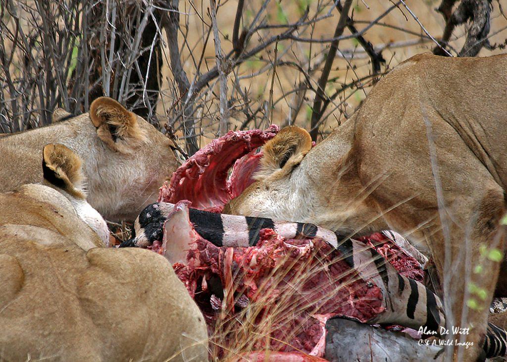 Lionesses feeding on Zebra