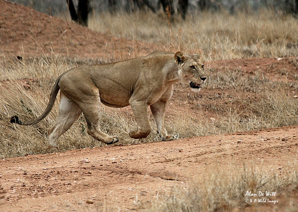 Lioness moving in on the prey