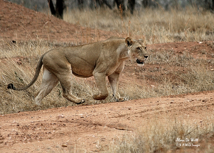Lioness hunting in Ruaha National Park Tanzania