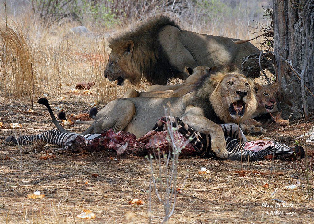 Ruaha Lions