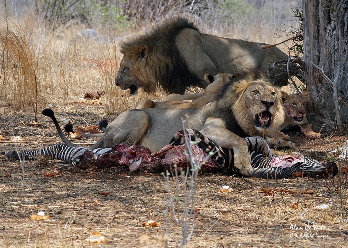 Lions at kill in RuahaNational Park Tanzania