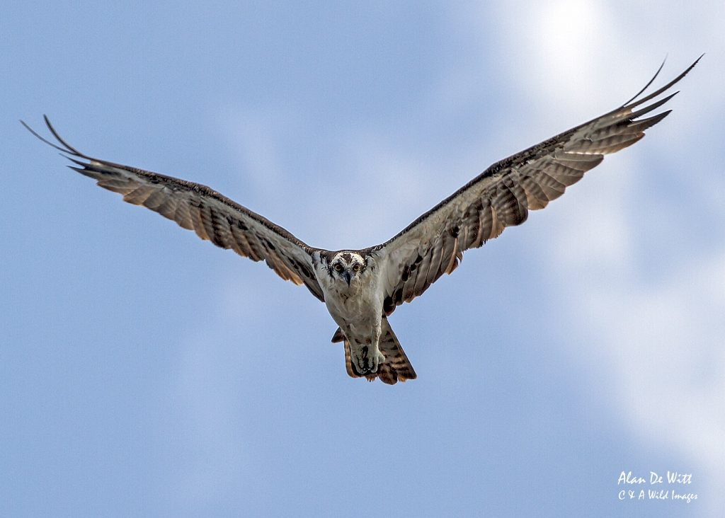 Osprey hunting along the Chambal river