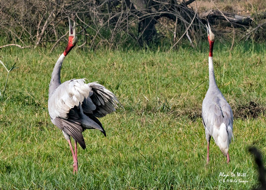 Sarus Crane performing the courtship dancein Keoladeo National Park