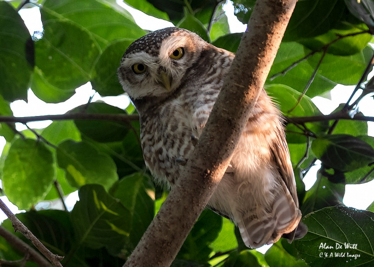 Spotted Owlet at The Mela Kothi - Chambal Safari Lodge