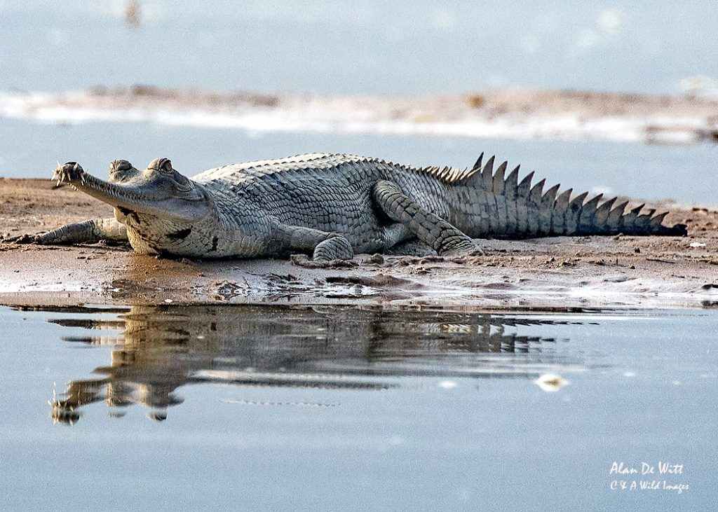 Critically Endangered Female Gharial on the River Chambal